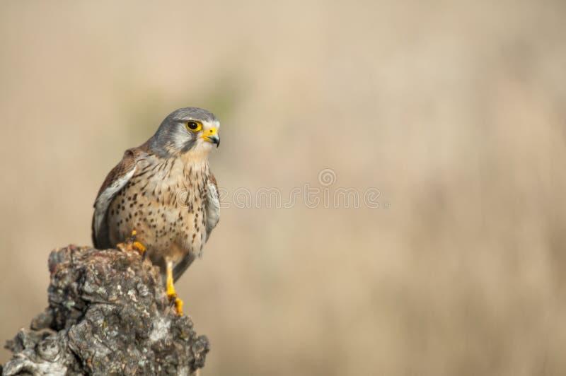Common kestrel - Falco tinnunculus. In natural habitat royalty free stock photos