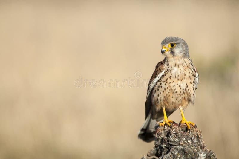 Common kestrel - Falco tinnunculus. In natural habitat stock photography