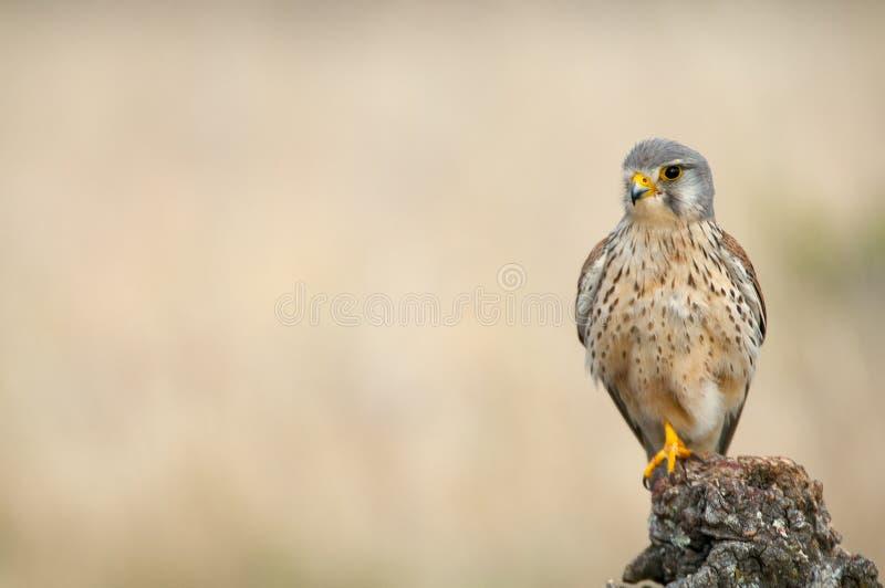 Common kestrel - Falco tinnunculus. In natural habitat royalty free stock images