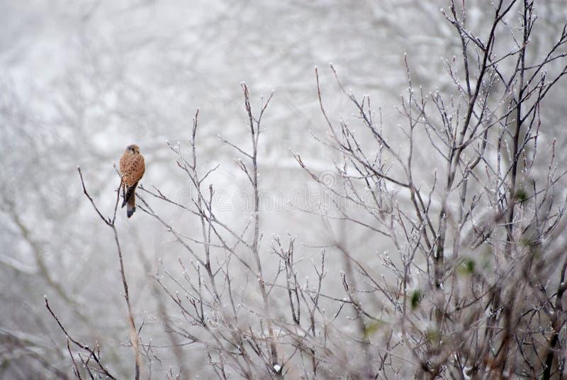 Common kestrel Falco tinnunculus. In natural habitat stock images