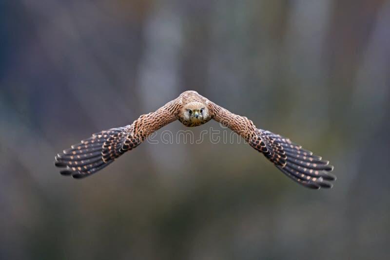 Common Kestrel, Falco tinnunculus, pequena ave de rapina sentada na floresta, Finlândia Voo de aves na natureza Cena de vida selv imagem de stock royalty free