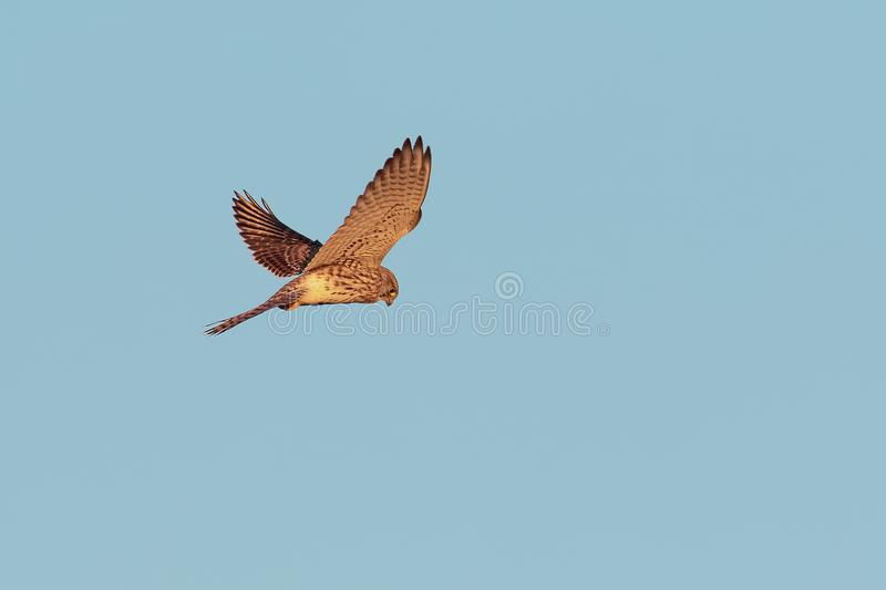 A Common Kestrel, hovering flight. stock photos