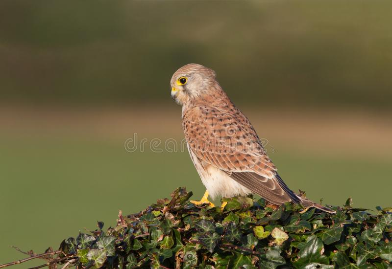 A Common Kestrel, Falco tinunculus, adult female perched. stock photography