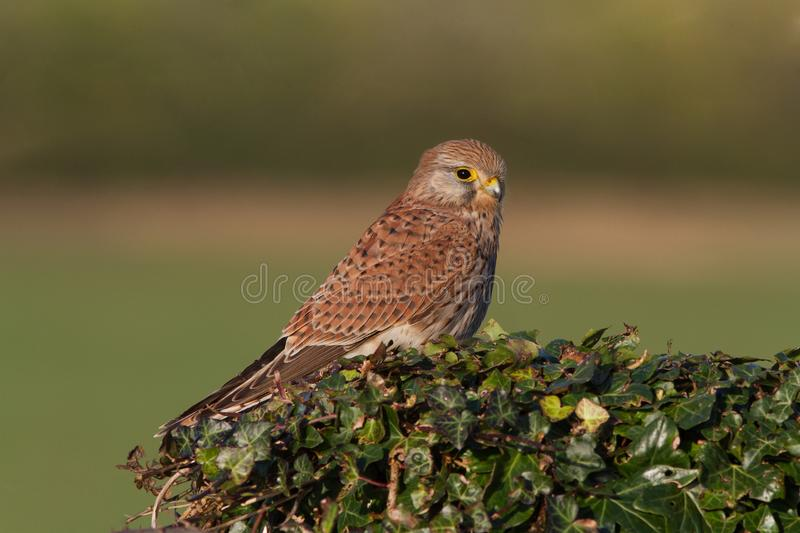 A Common Kestrel, Falco tinunculus, adult female perched. royalty free stock photo
