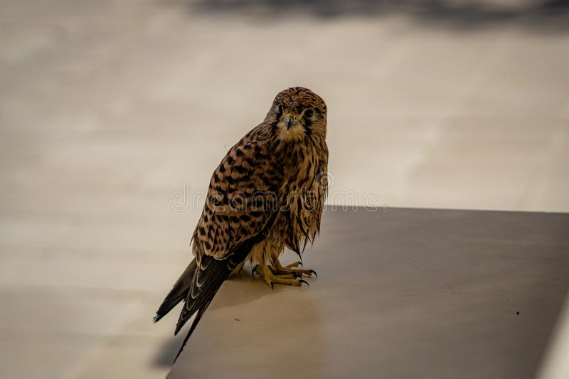 Common kestrel sitting on a table stock images