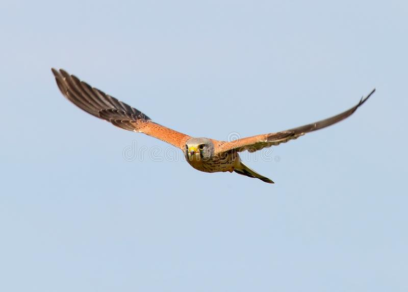 Common kestrel in flight against blurred blue sky royalty free stock images