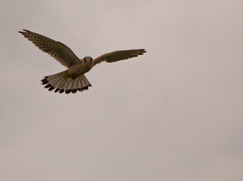 Common Kestrel hovering at sundown. A male Common Kestrel (Falco tinnunculus) profits the last light of the day to hunt for a suitable prey royalty free stock photo