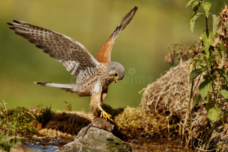 Common Kestrel hunting little mouse, Falco tinnunculus. Common Kestrel hunting little mouse, Falco tinnunculus, little birds of prey, green grassland near royalty free stock images