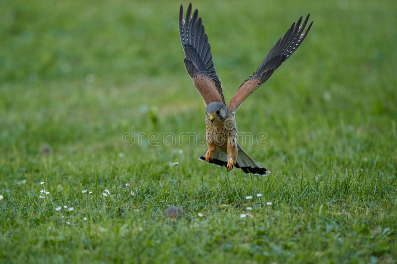 Common Kestrel hunting little mouse, Falco tinnunculus. Common Kestrel hunting little mouse, Falco tinnunculus, little birds of prey, green grassland near royalty free stock photography