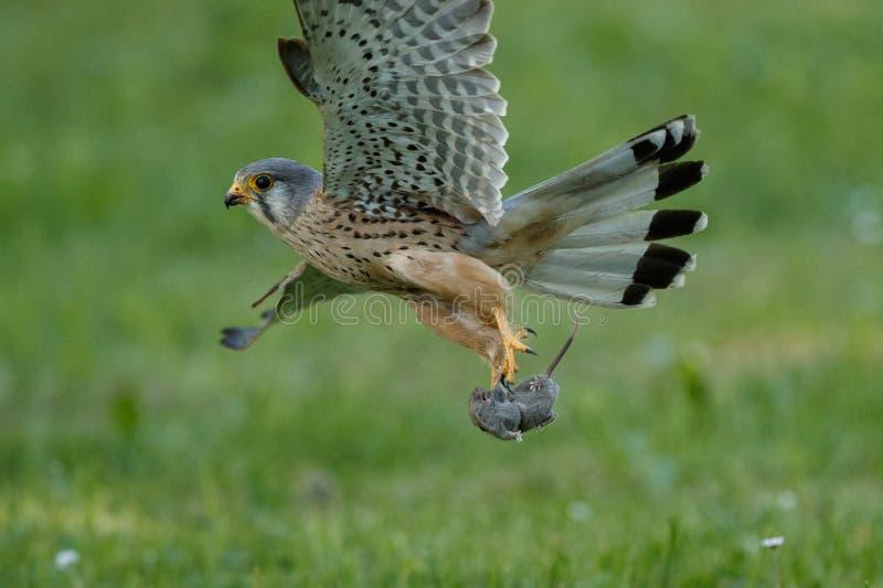 Common Kestrel hunting little mouse, Falco tinnunculus. Common Kestrel hunting little mouse, Falco tinnunculus, little birds of prey, green grassland near stock image