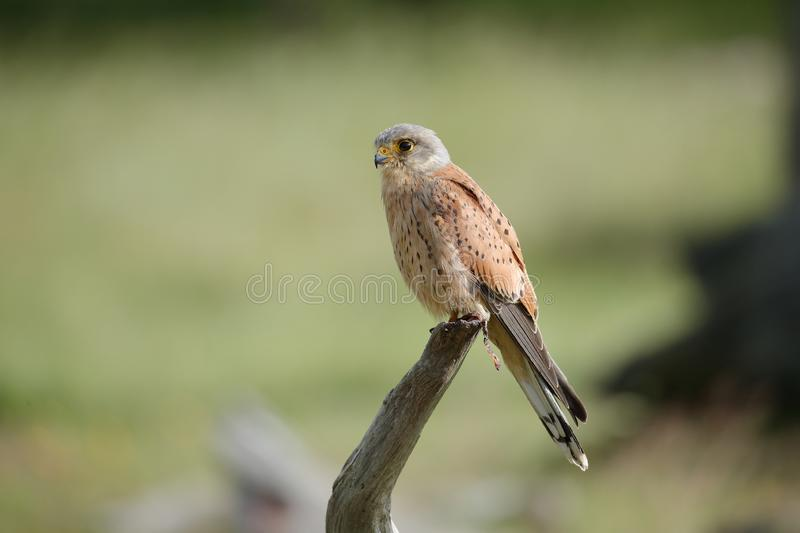 The common kestrel male perched up close royalty free stock photo
