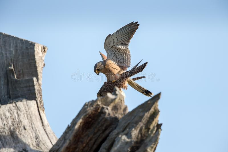 The common kestrel pair mating royalty free stock images