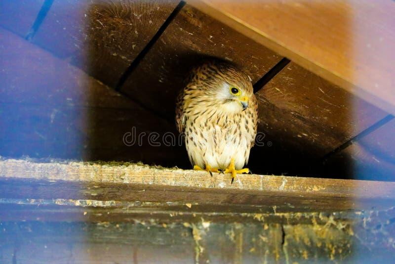 Common Kestrel Portrait Beak Wide Open Falco tinnunculus European kestrel stock photography