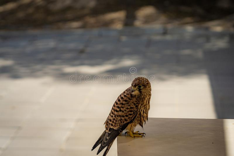 Common kestrel sitting on a table royalty free stock photo