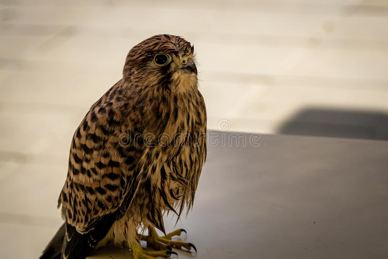 Common kestrel sitting on a table royalty free stock images