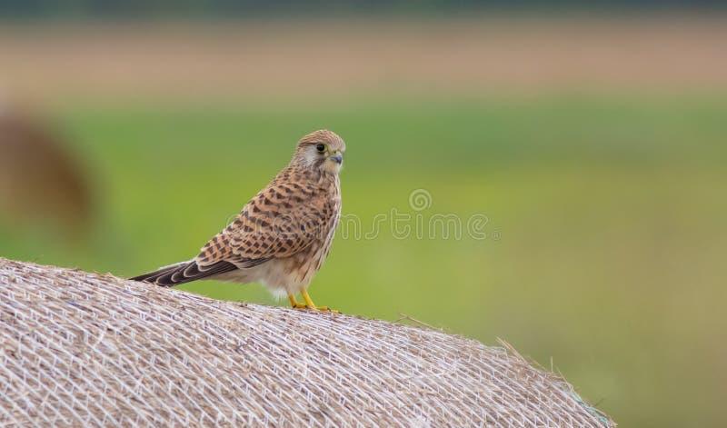 Common kestrel - Turmfalke - Falco tinnunculus stock image