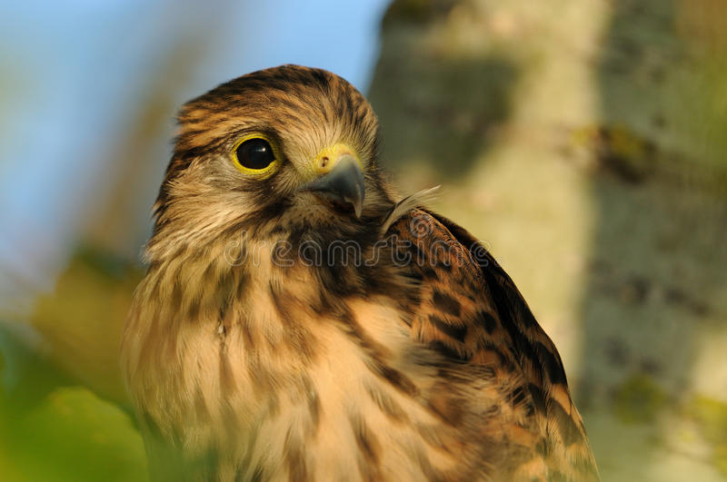 Common Kestrel. A very young falcon on a knob in a tree royalty free stock photos