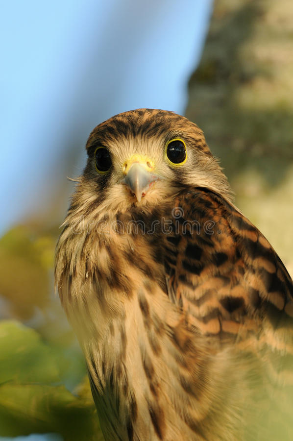 Common Kestrel. A very young falcon on a knob in a tree royalty free stock photo