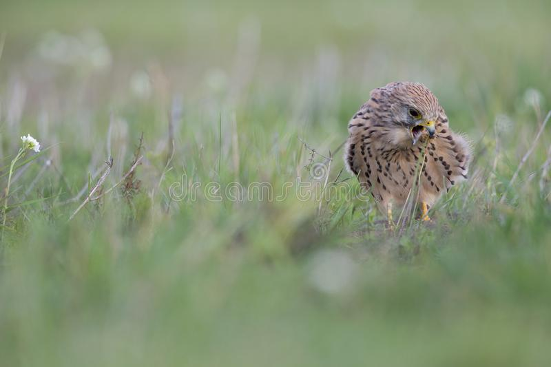 A common kestrel viewed from a low angle coughing up a pellet in the grass in Germany royalty free stock photography