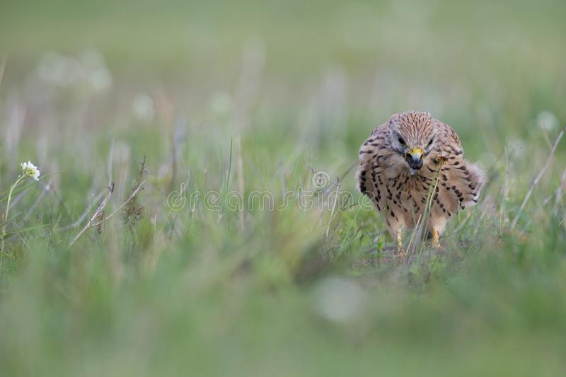 A common kestrel viewed from a low angle coughing up a pellet in the grass in Germany royalty free stock photos