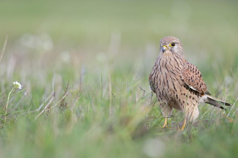 A common kestrel viewed from a low angle resting in the grass in Germany. stock image