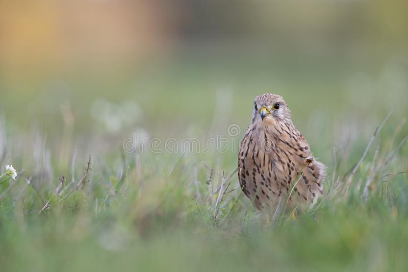 A common kestrel viewed from a low angle resting in the grass in Germany. stock photography