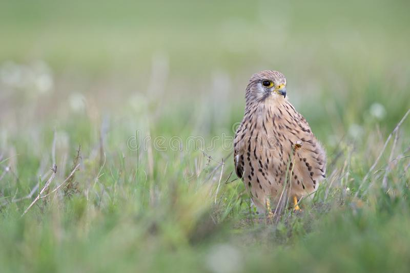 A common kestrel viewed from a low angle resting in the grass in Germany. royalty free stock photography