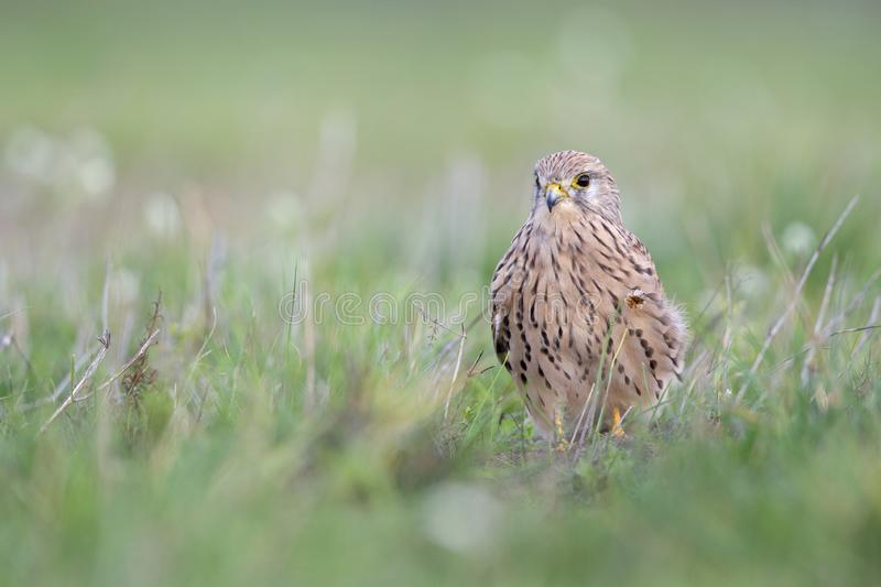 A common kestrel viewed from a low angle resting in the grass in Germany. stock photos