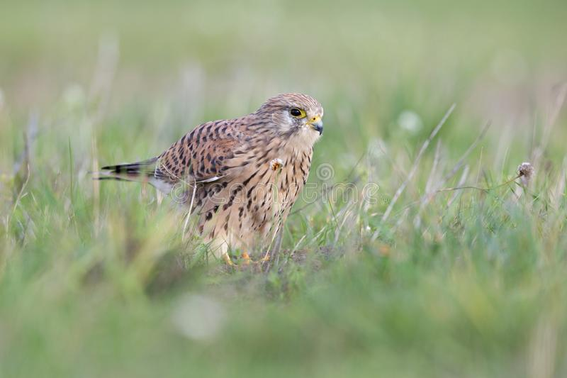 A common kestrel viewed from a low angle resting in the grass in Germany. stock photo