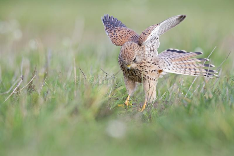 A common kestrel viewed from a low angle stretching its wings in the grass in Germany. stock photography