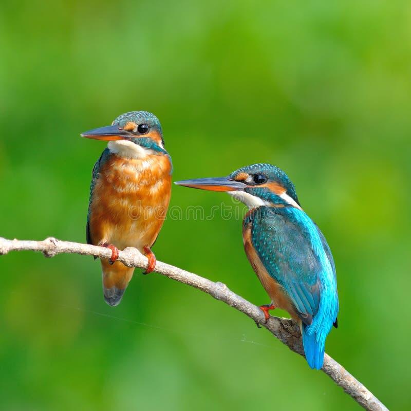 Free Common Kingfisher Royalty Free Stock Photo - 34946795