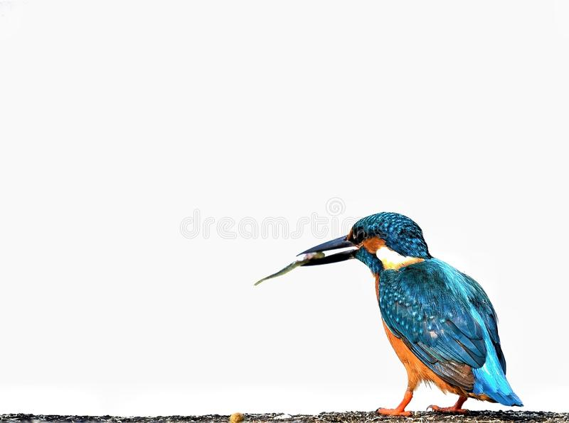 Common kingfisher aggressively on hunt. Common kingfisher bird on hunt