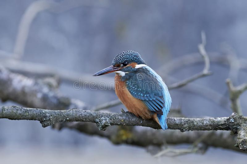 Common kingfisher alcedo atthis royalty free stock photography