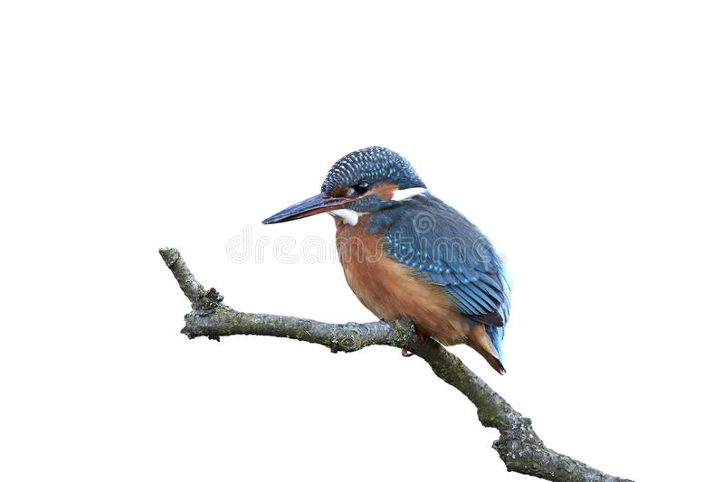 Common kingfisher Alcedo atthis stock photography