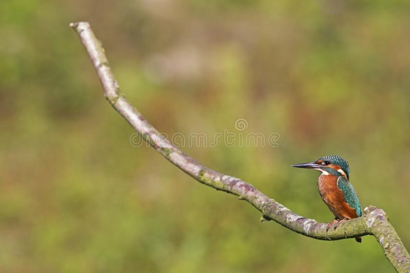 A Common Kingfisher alcedo atthis perched on a branch waiting for the moment to catch a fish. stock image