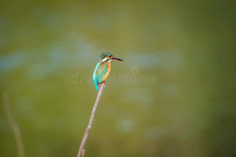 Common kingfisher or Alcedo atthis sitting on a beautiful perch with green background at keoladeo national park stock photo
