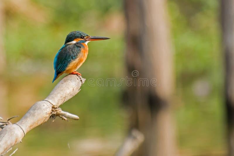 Common kingfisher Alcedo atthis sitting on tree branch stock photo