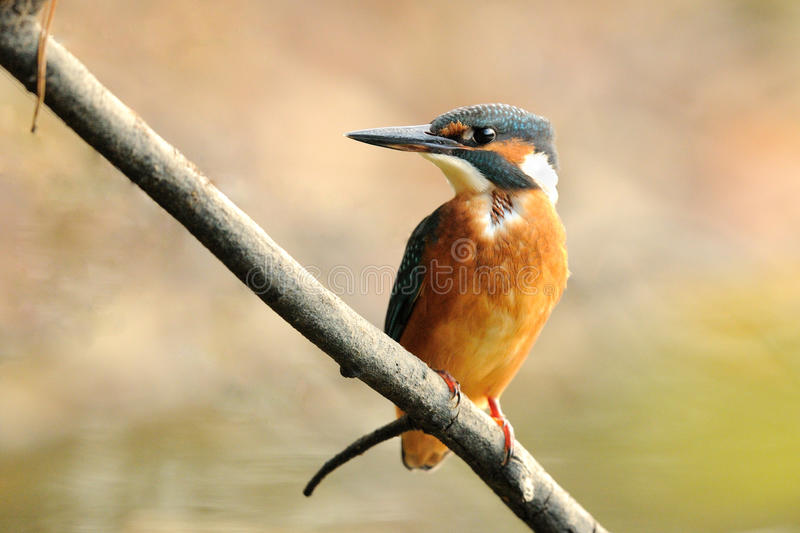 Common Kingfisher (Alcedo Atthis). This small bird you can also call Eurasian Kingfisher or River Kingfisher royalty free stock photo