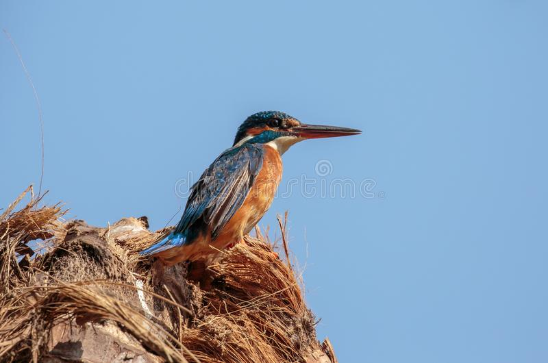 The common kingfisher perched on a stump stock photo