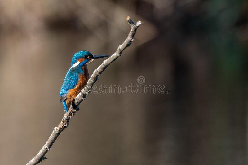 Common Kingfisher on a branch royalty free stock image