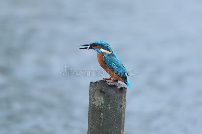 The common kingfisher with a catch stock images