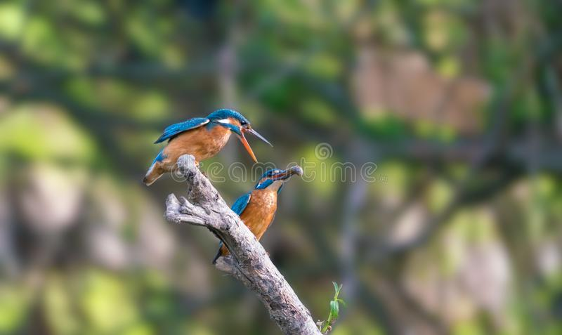 Common kingfisher family, male and female royalty free stock photos