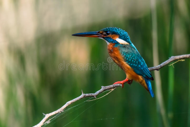 Common Kingfisher Perched stock images