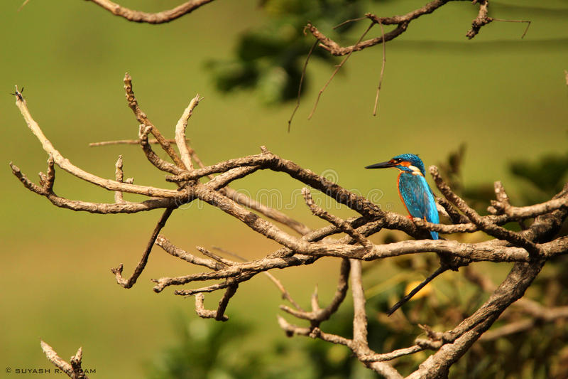 Common kingfisher royalty free stock images