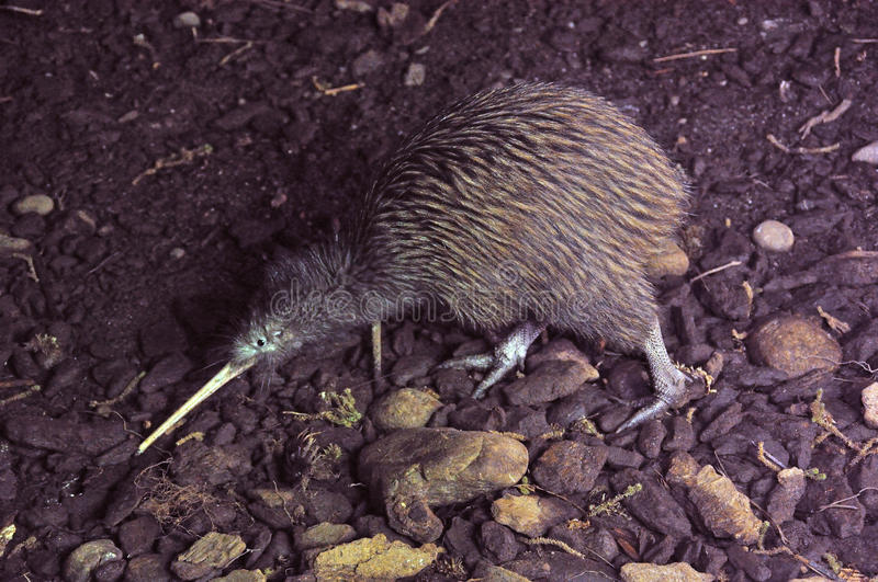 Common Kiwi stock images