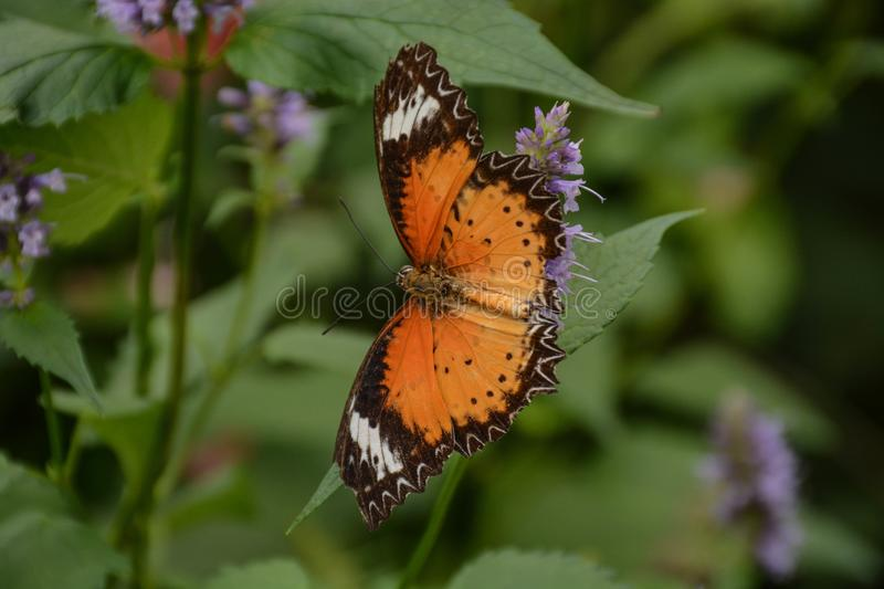 Common Lacewing Butterfly Posed on a Flower. A view of a Common Lacewing butterfly posed on a flower in a local garden royalty free stock photo