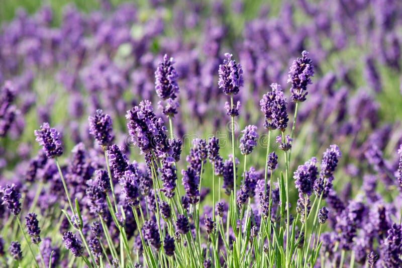 Common Lavender (Lavandula angustifolia) stock images