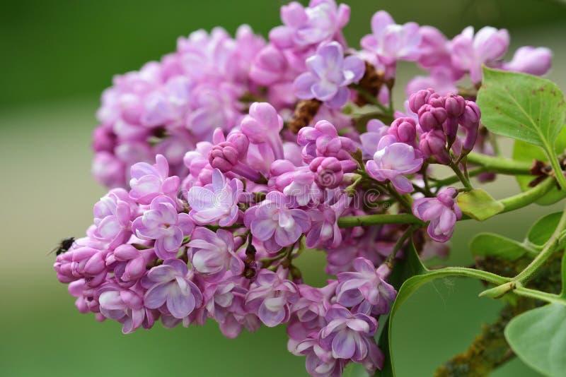 Common lilac syringa vulgaris. Close up of common lilac syringa vulgaris flowers in bloom royalty free stock images