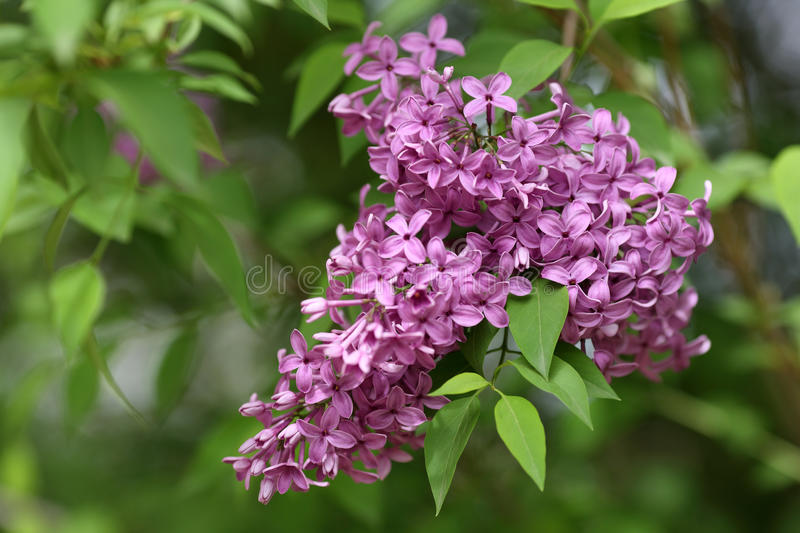 Common lilac, Syringa vulgaris. Details of flowers and leaves of common lilac, Syringa vulgaris stock image