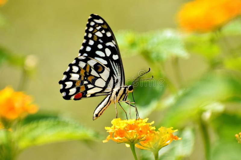 Common Lime Butterfly. Sitting on flower for nector royalty free stock photography